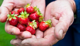 bouley-farm-strawberrries-670-photo-Nicole-Bartelme-(c)2011